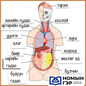 mongolian vocab organs nomiin ger